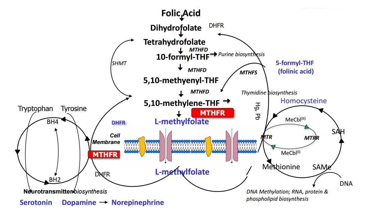 MTHFR Genetic Variants of Folate Metabolism - Diagram Schematic