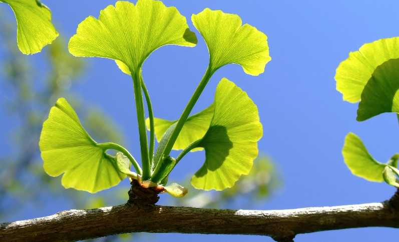 Ginkgo Biloba - Best Brain Supplements and Best Nootropics