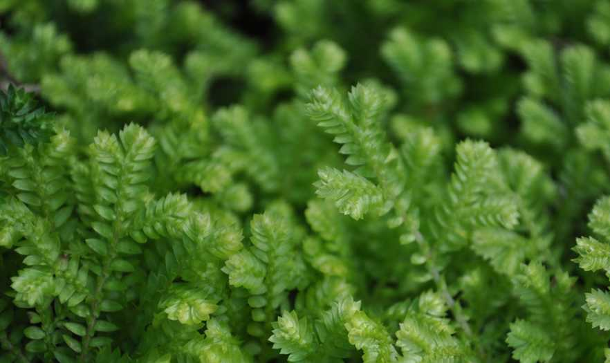 Huperzine A - Best Nootropics & the best Brain Supplements - Chinese Club Moss