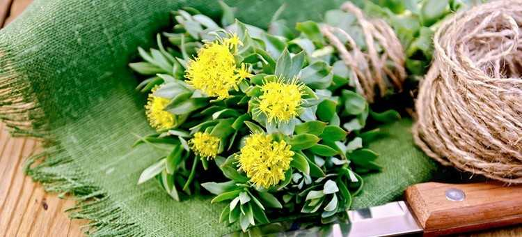 Rhodiola Rosea - Herbs for Brain