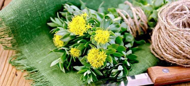 Rhodiola Rosea - Herbs for Brain